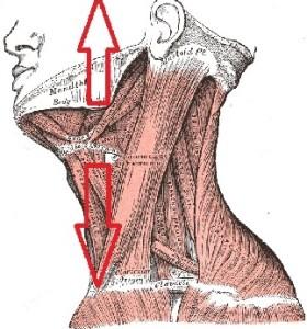 mandibola-cranio2